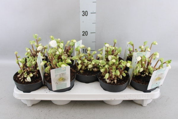 <h4>Helleborus niger 'Verb Beauty'</h4>