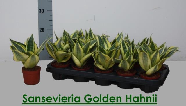 <h4>SANSEV GOLDEN HAHNII</h4>