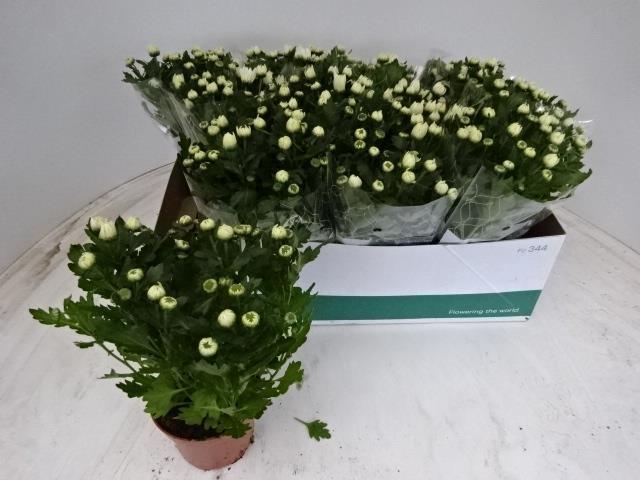 <h4>Chrysanthemum 12Ø 27cm</h4>