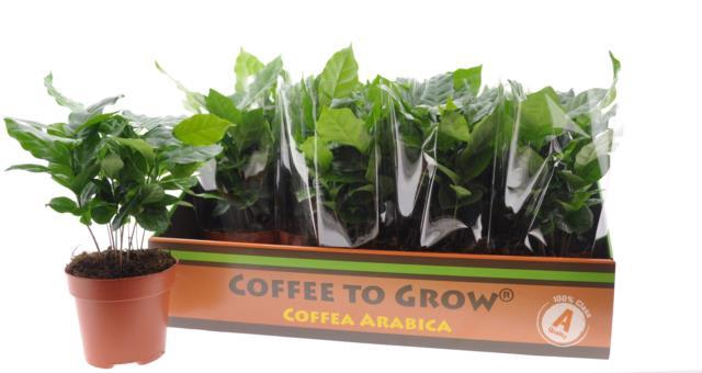 <h4>COFFEA ARABICA</h4>
