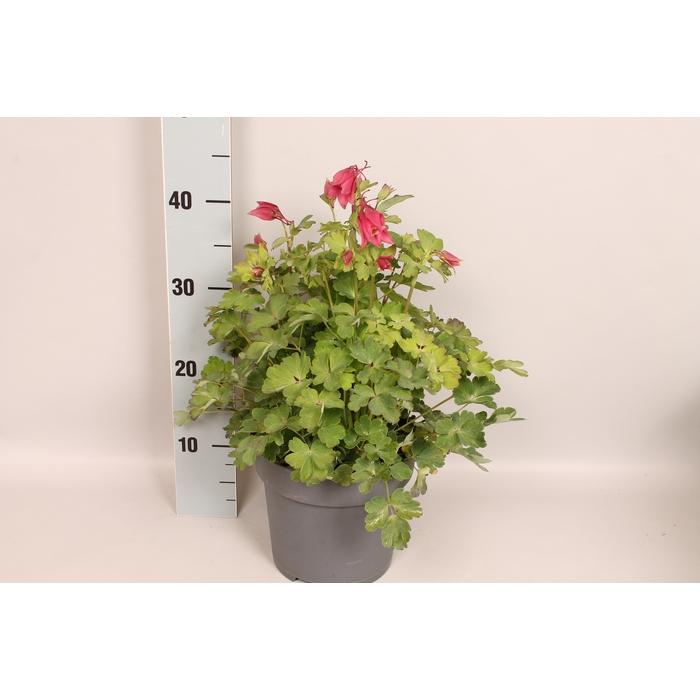 <h4>vaste planten 19 cm  Aquilegia Rose & Pink</h4>