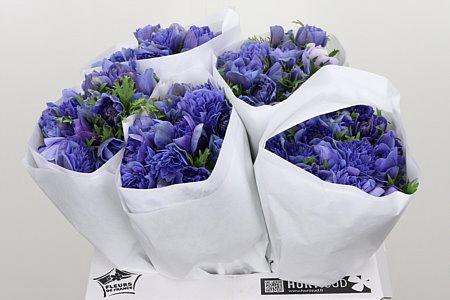 <h4>Anemone Fullstar Blue</h4>