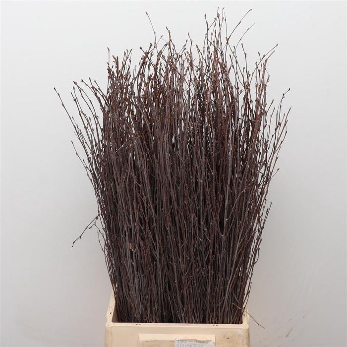 <h4>Betula (berk) P Bos 70cm</h4>