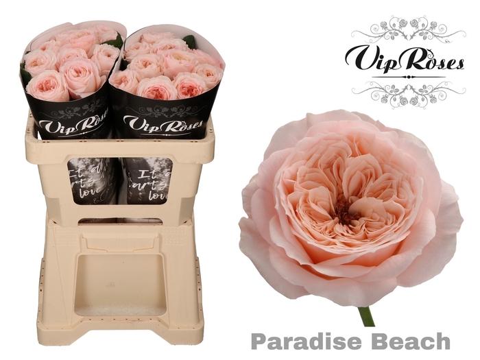 <h4>R KL PARADISE BEACH x 20</h4>