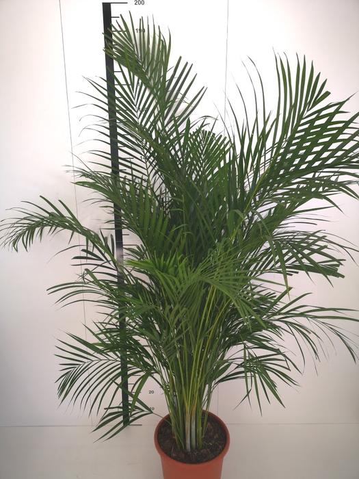 <h4>Areca Chrysalidocarpus</h4>