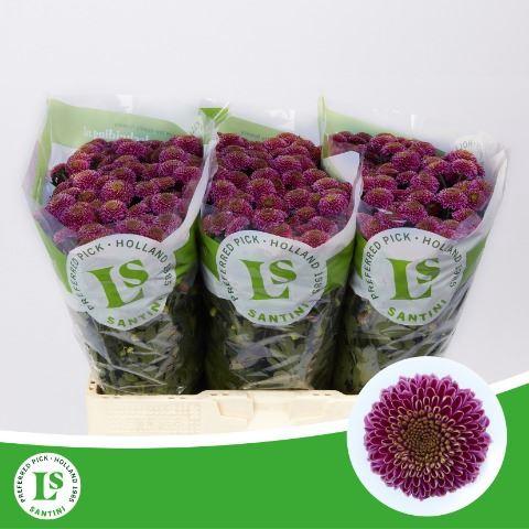<h4>Chrysanthemum SA 'Zanmudemi'</h4>