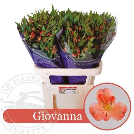 <h4>Alst Fl Giovanna</h4>
