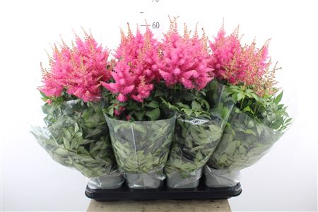 <h4>Astilbe 'drum And Bass'</h4>