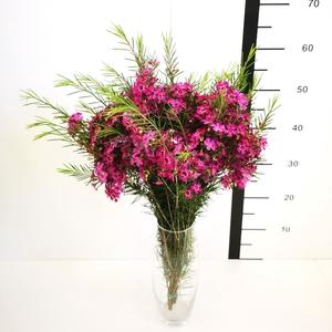 Flor de cera bicolor rosa abierta