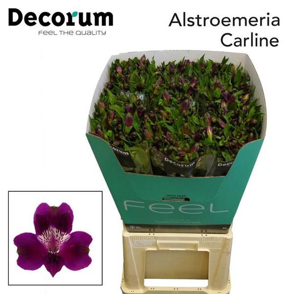 <h4>Alstroemeria Carline</h4>