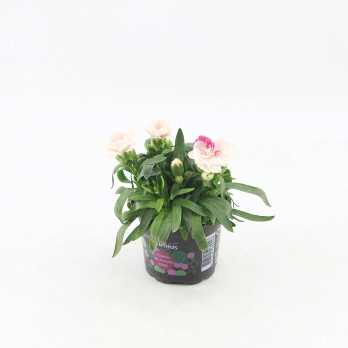 <h4>Dianthus Oscar White and Red</h4>