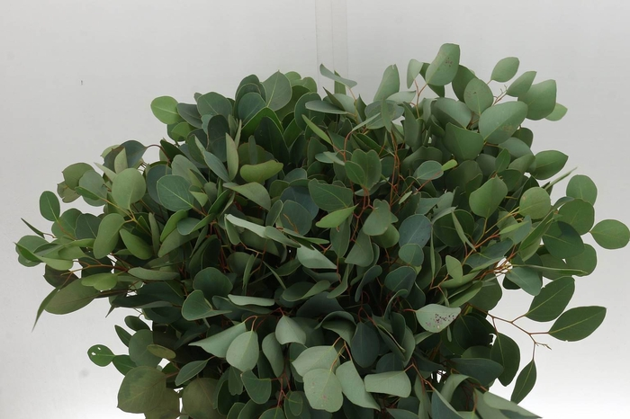 <h4>Eucalyptus Populus 10 Tak (P. Bos)</h4>