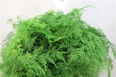 <h4>Asparagus Plumosus Extra Veren</h4>