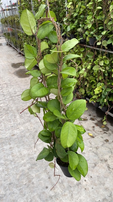 <h4>Hoya 50cm Fungii</h4>