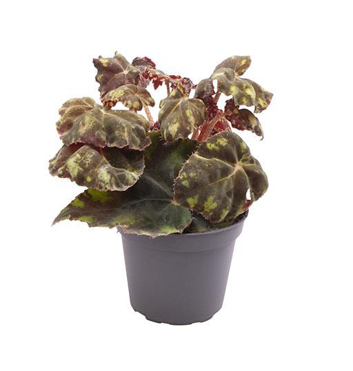 <h4>Begonia Boweri Tiger 6Ø 15cm</h4>