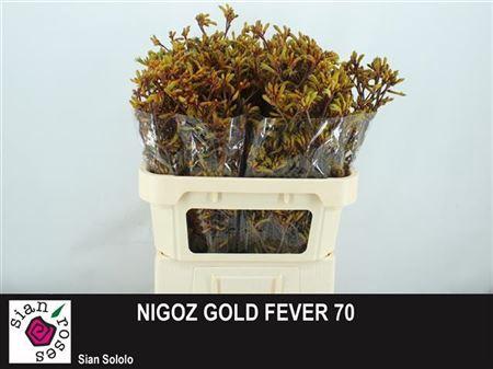 <h4>ANIGOZ GOLD FEVER</h4>