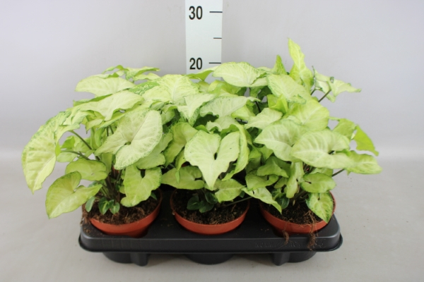 <h4>Syngonium  'White Butterfly'</h4>