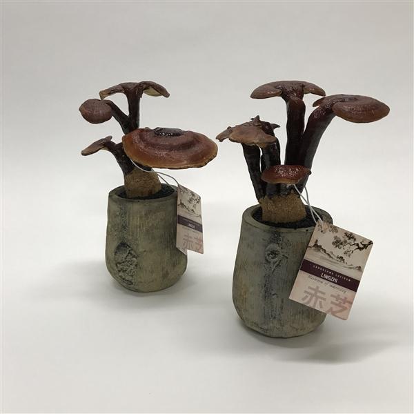 <h4>Ganoderma Lingzhi 'Tree Pot' 10 cm</h4>
