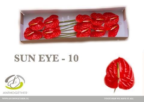 <h4>Anthurium (Andreanum Grp) Sun Eye</h4>