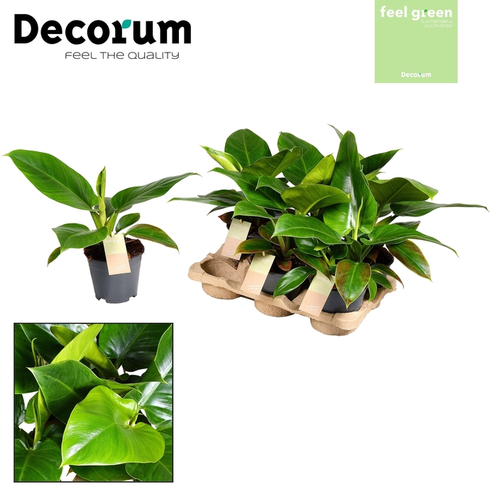 <h4>Philodendron Imperial Green</h4>