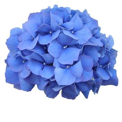 <h4>Hortensia Hyd. .Blue/Purple</h4>