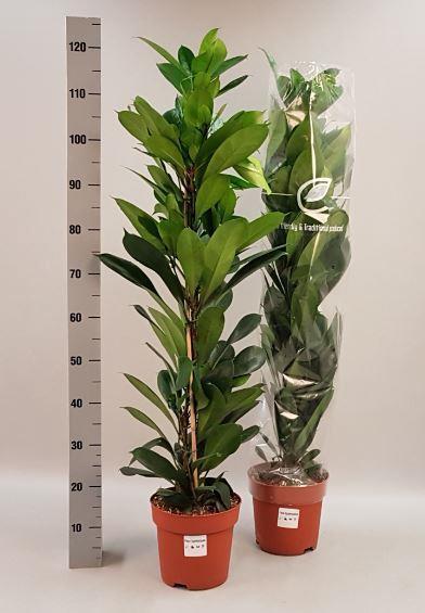 <h4>Ficus Cyathistipula 21Ø 115cm</h4>