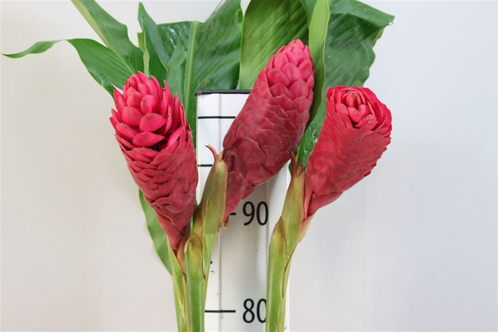 <h4>Alpinia Rood Extra Large</h4>