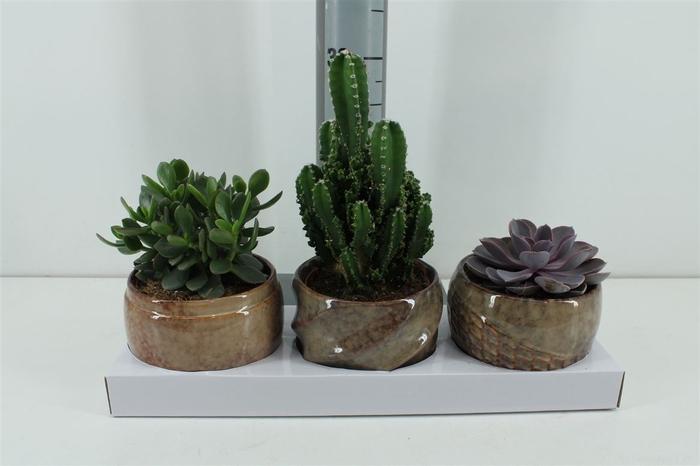 Succulent Mix In Pot Geneve