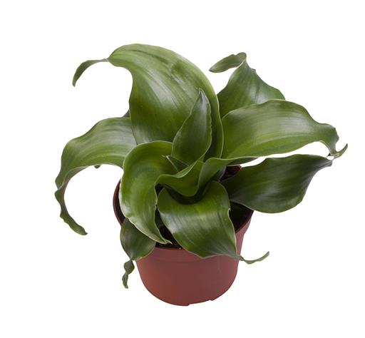 <h4>Dracaena Dragontree Twist 6Ø 25cm</h4>