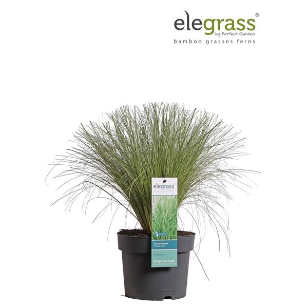 <h4>Carex comans frosted curls - Elegrass</h4>