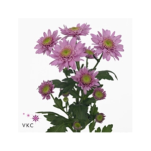 Chrysanthemum spray euro rosa