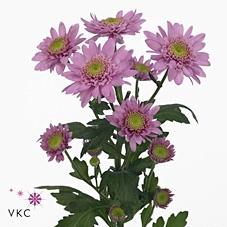 Chrys. spray euro rosa (R. OPORTO)