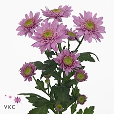 <h4>Chrysanthemum spray euro rosa</h4>