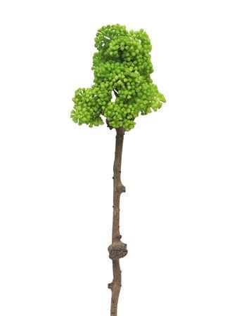 <h4>Chestnut blossom lt green 58cm</h4>
