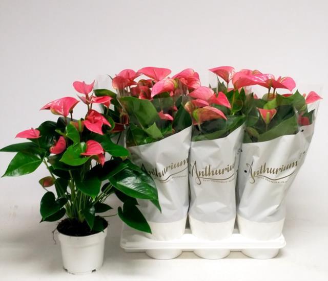 <h4>Anthurium Andreanum Pink Champion 17Ø 60cm 8+ kwiatów</h4>