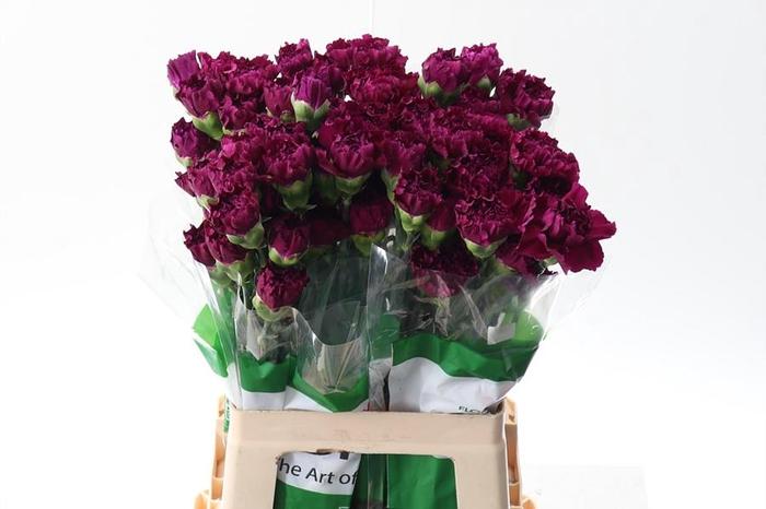 <h4>Di St Golem Purple 60cm</h4>