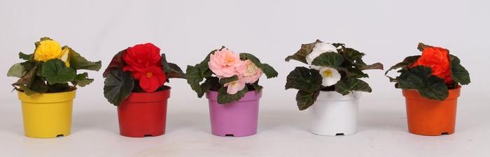 <h4>Begonia Tuberhybrida gemengd</h4>