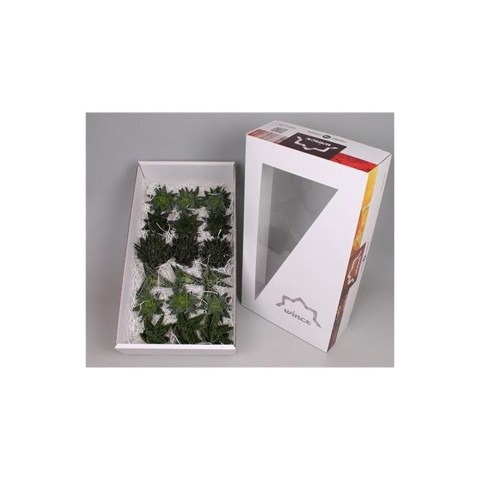 <h4>Aloe Mix (wincx) Cutflower</h4>