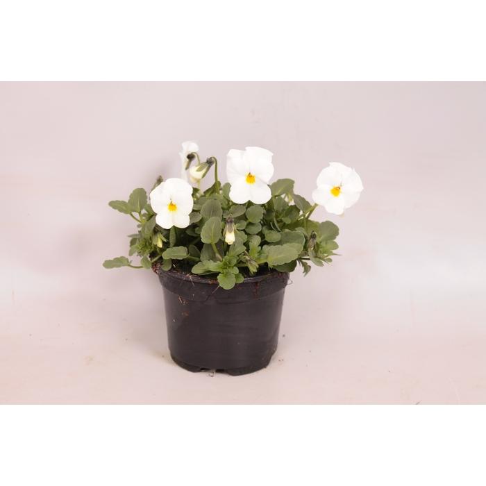 <h4>Viola cornuta sixpack F1 Deltini True White</h4>