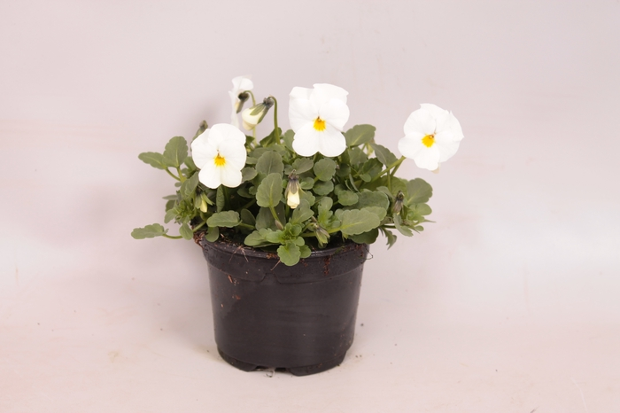 <h4>Viola cornuta F1 True White</h4>