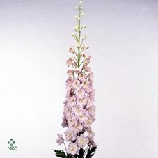 <h4>Delphinium rosa</h4>