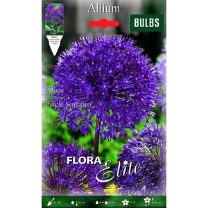 Z Allium Purple Sensation