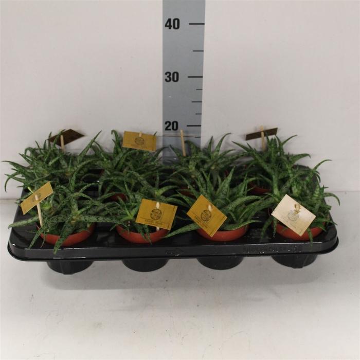 <h4>Aloe Spider</h4>