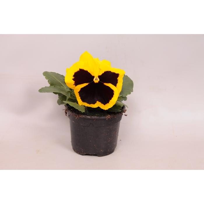 <h4>Viola wittrockiana F1 Yellow with Blotch</h4>