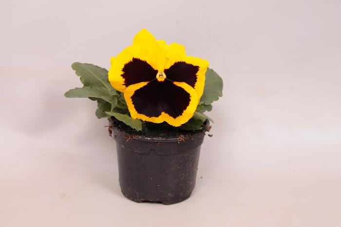 Viola wittrockiana F1 Yellow with Blotch