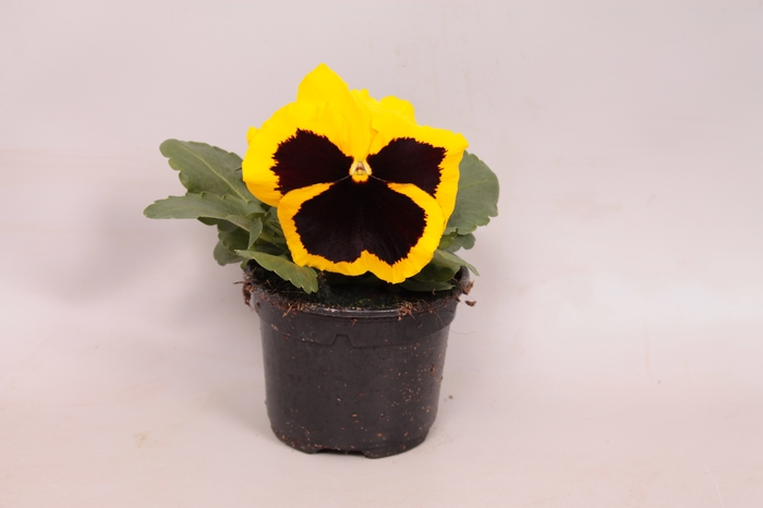 <h4>Viola wittrockiana F1 Gold with Blotch Imp.</h4>
