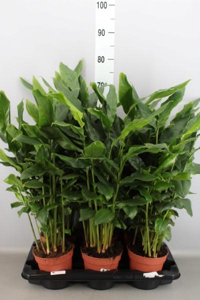 <h4>Elettaria Cardamomum</h4>