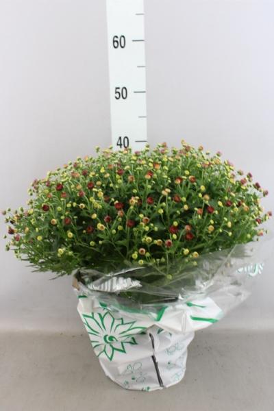 <h4>Chrysanthemum  'Jasoda dk Orange'</h4>