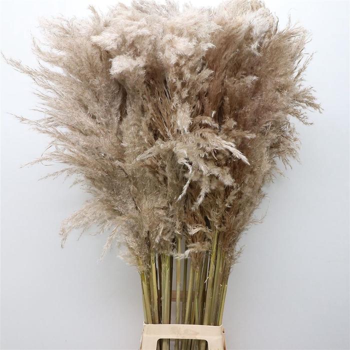<h4>Corta Dried Selloana X L Natural Fluffy</h4>