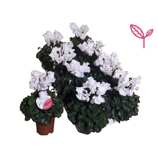 <h4>Cyclamen-Special- Merengue Wit</h4>